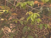 In Search of Jaguars